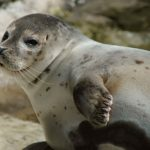 At the Wadden Sea you will find Denmark's largest population of harbour seals