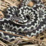 Snakes in Denmark