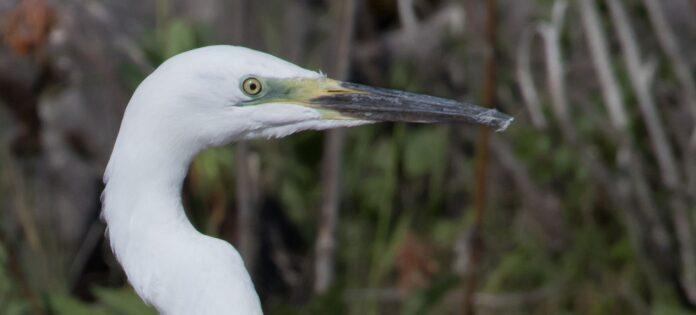 The great egret in Denmark