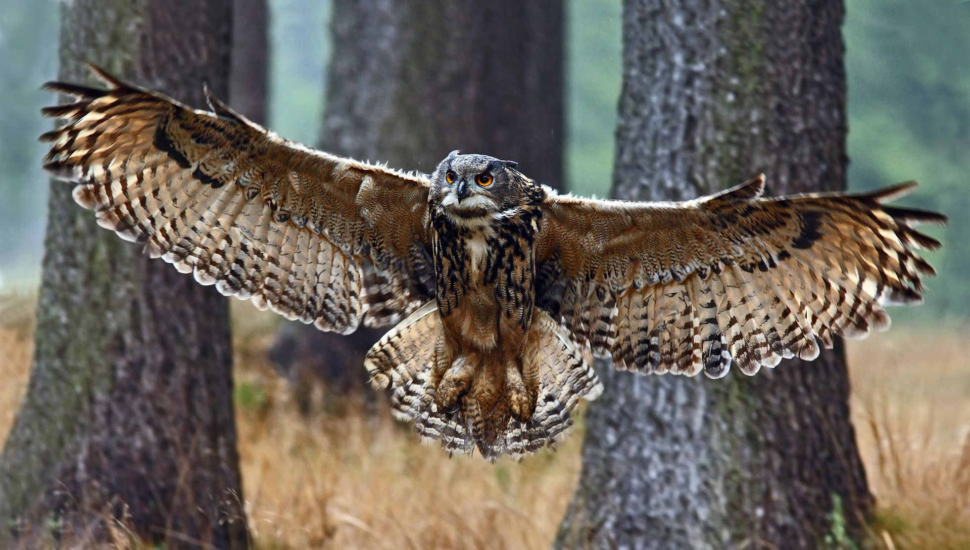 Aninimal Book: Return of the Eagle-owl - Wild About Denmark