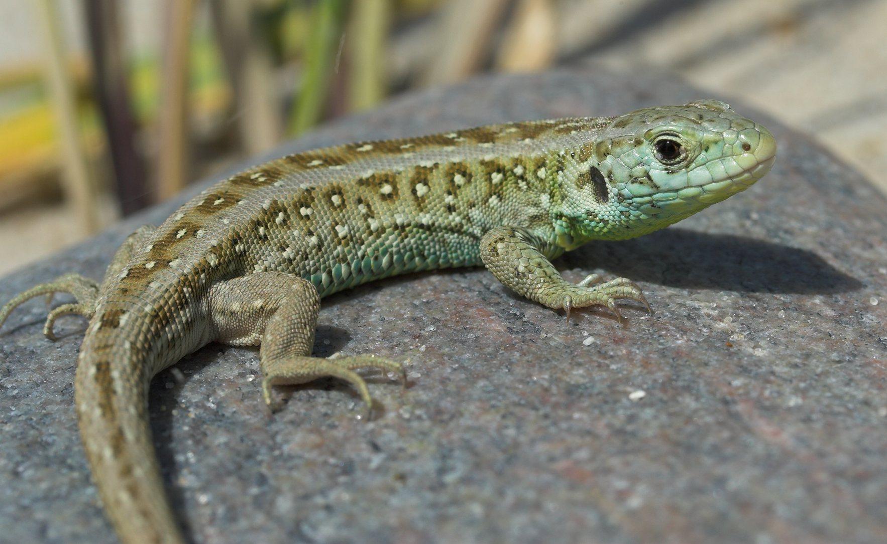 Lizards of Denmark
