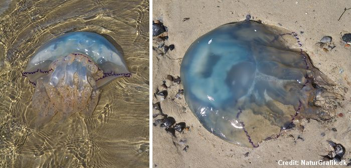 The barrel jellyfish