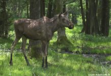 Elk in Denmark